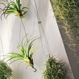 Rideau végétal Airplant Teracrea