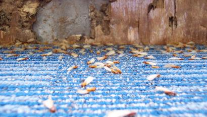 bois-termite-insecte-eradiquer